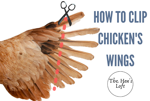 how to clip chicken wings flight feathers safely