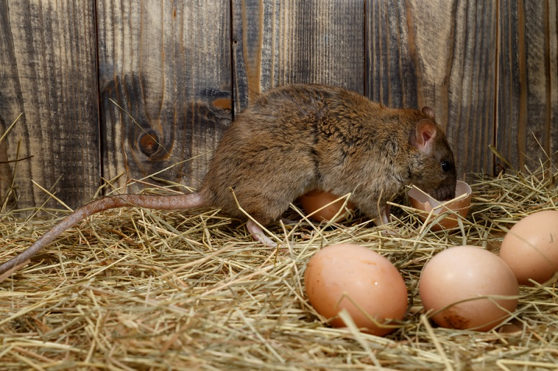 large brown rat eating eggs in a chicken coop