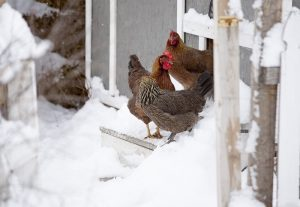 chickens standing in coop entrance in winter