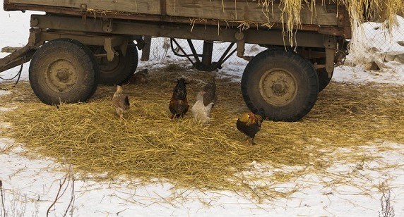 spreading hay over snow for chickens to forage
