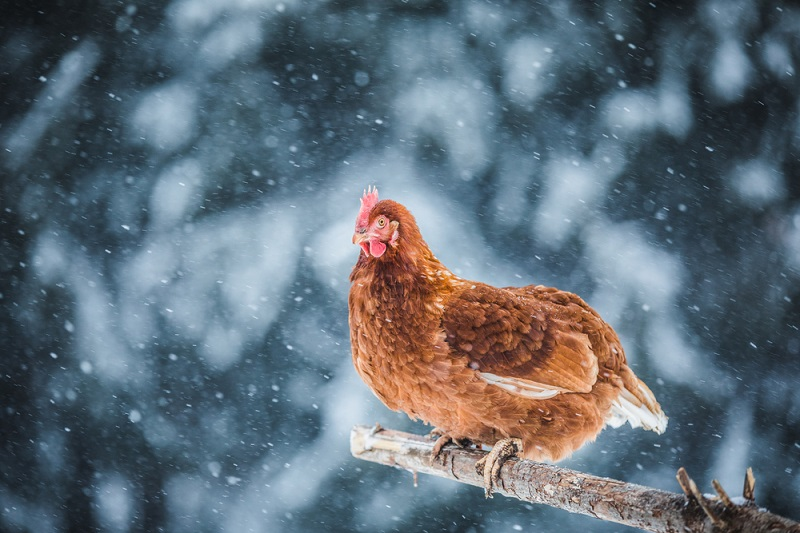 hen roosting in the snow in winter