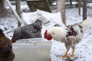 how to keep chicken water from freezing in winter